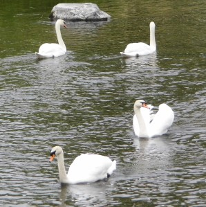 Swans on River Kent
