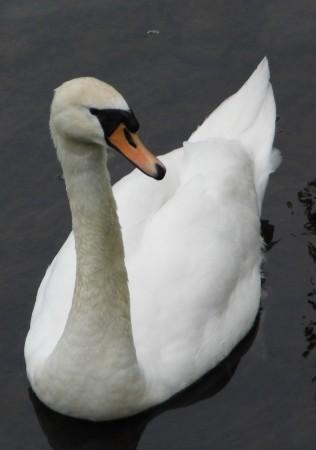 Lone swan 1