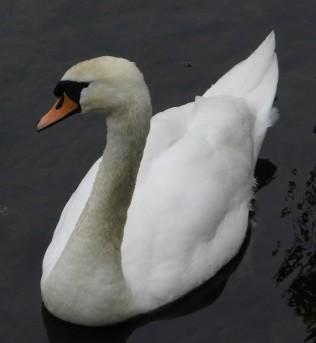 Lone Swan 2