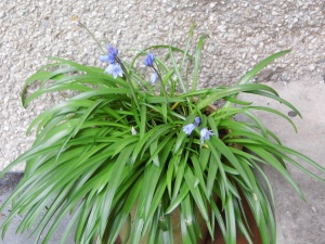 Pot of bluebells